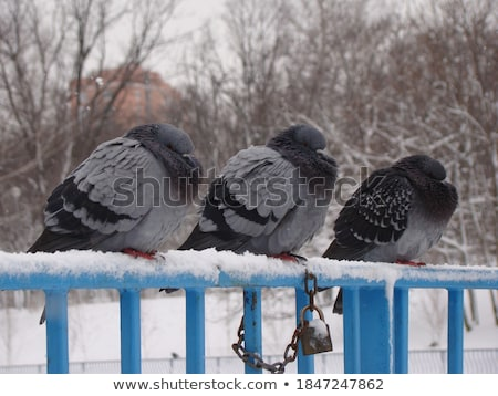 один голубь белый снега парка дерево Сток-фото © MikhailMishchenko