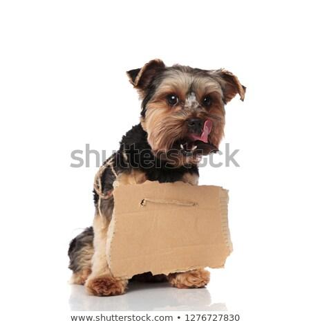 éhes Yorkshire terrier üres óriásplakát külső Stock fotó © feedough