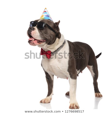 classy american bully wearing birhtday cap looks to side Stock photo © feedough