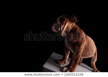 Curioso Inglés bulldog pie gris podio Foto stock © feedough