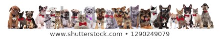 team of many gentlemen cats and dogs on white background stock photo © feedough