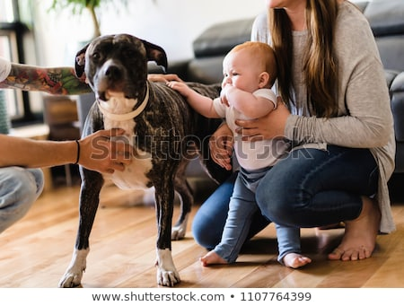 Stock photo: Baby girl touch pitbull at home, parent holding baby