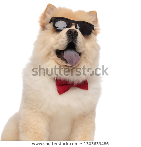 close up of curious chow chow wearing glasses and bowtie Stock photo © feedough
