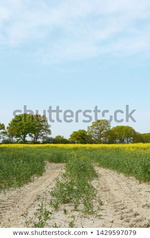 Tractor tyre tracks lead through a field of yellow rapeseed  Stock photo © sarahdoow