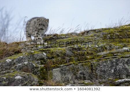 fiatal · leopárd · sétál · kamera · park · Dél-Afrika - stock fotó © simoneeman