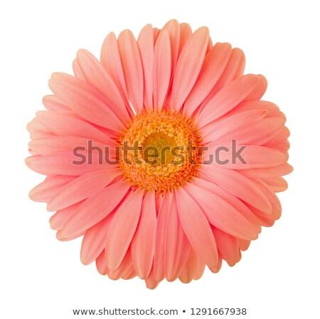 beautiful gerbera flower in living coral color Stock photo © dolgachov