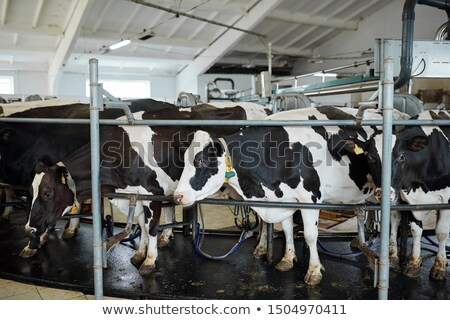 medium group of milk cows standing in row in large stall or stable stock photo © pressmaster