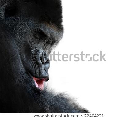 Selvatico occidentale africa gorilla zoo animale Foto d'archivio © cienpies