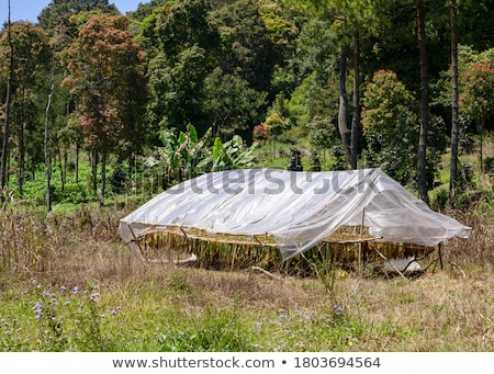 Farmer and traditional tobacco drying in tent Stock photo © simazoran