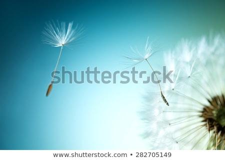 abstract dandelion flower background stock photo © annaomelchenko