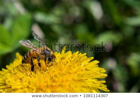 Mel de abelha trabalhando dandelion flor amarelo trabalhar Foto stock © Ansonstock