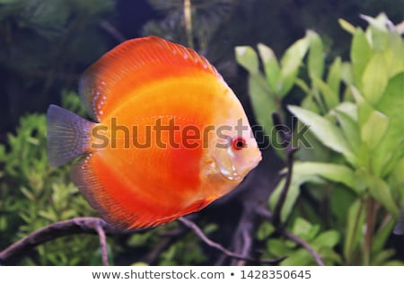 red discus Stock photo © cynoclub