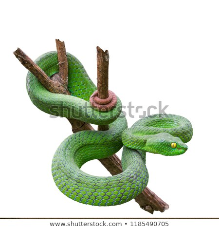 Pit Viper Stock photo © emiddelkoop