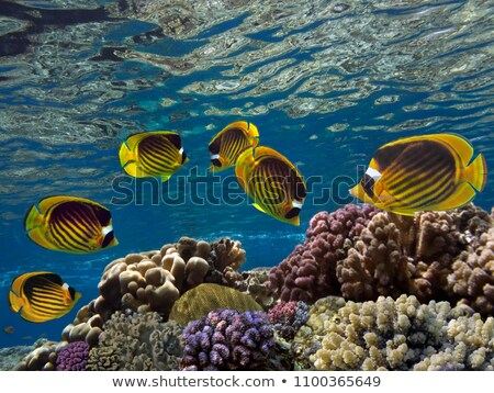 Raccoon butterflyfish (chaetodon fasciatus) Stock photo © stephankerkhofs