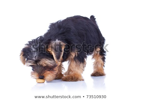 Seated yorkshire puppy sniffing Stock photo © feedough