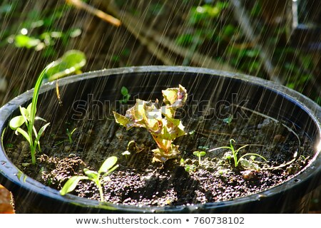 baby lettuce green and red plant sprouts in pots Stock photo © lunamarina
