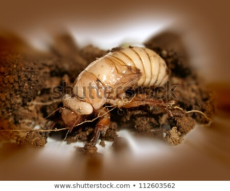 Christmas Beetle Larvae Scarabaeidae Anoplognathus Metamorphism Stok fotoğraf © Sherjaca