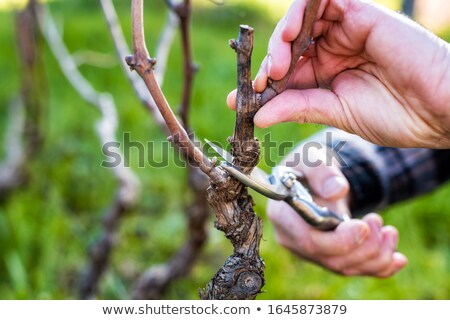 Man pruning vines Stock photo © photography33