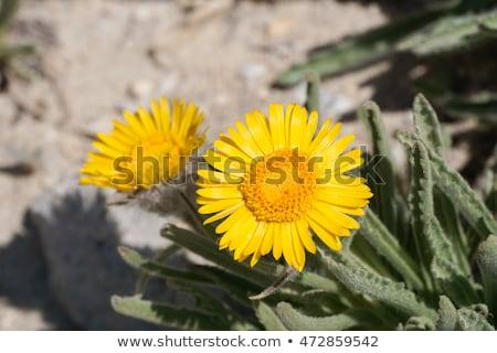 Alpesi arany vadvirág makró kép citromsárga Stock fotó © pancaketom