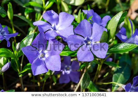 Stok fotoğraf: Periwinkle And Grass
