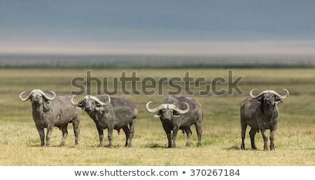 The African buffalo. Ngorongoro, Tanzania. Stock photo © photocreo
