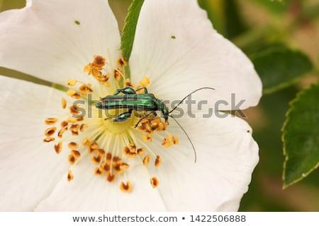 Сток-фото: жук · цветок · Nice · зеленый · ярко