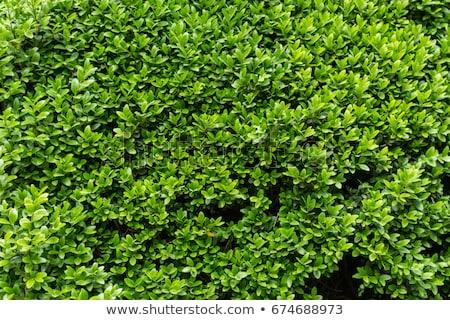Grünen Busch Textur Garten Wand Frühling Stock foto © luckyraccoon