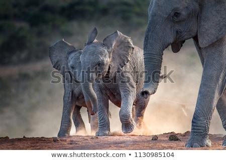 elefánt · állatkert · út · tájkép · sétál · fogak - stock fotó © compuinfoto