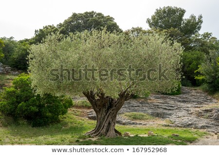 eski · zeytin · alan · hazır · hasat - stok fotoğraf © bertl123