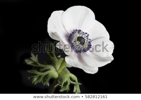 white anemone flower macro stock photo © mikko