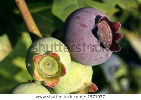 Unripe blueberries with dew Stock photo © ondrej83