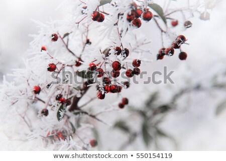 red and orange berries stock photo © alessandrozocc
