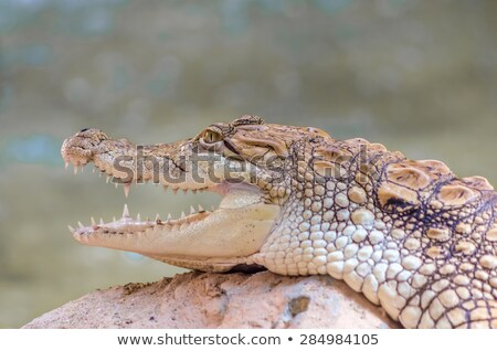 Fiatal amerikai krokodil nyitva száj part Stock fotó © OleksandrO