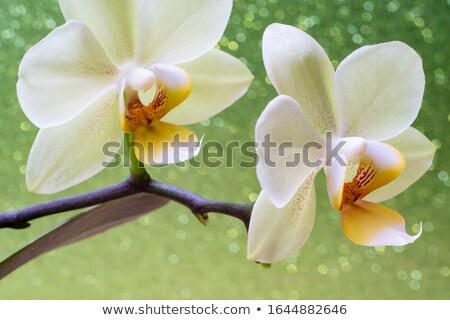 Green orchid Stock photo © slunicko