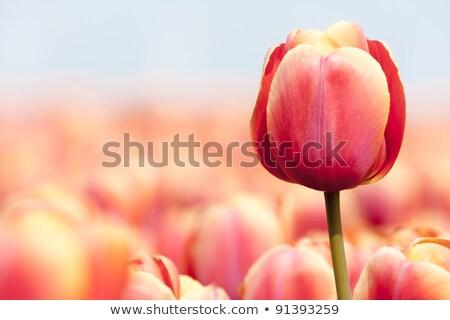 Tulip field in the Spring time Stock photo © Klinker