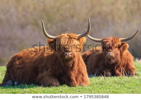 скота · корова · песчаный · землю - Сток-фото © olandsfokus