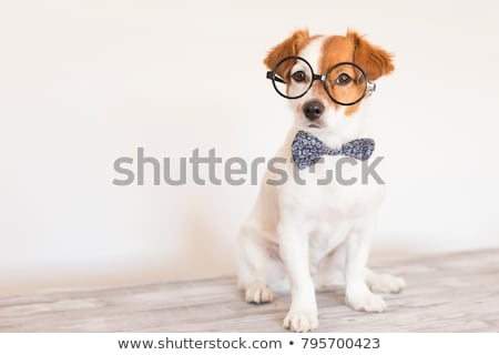 perro · gafas · cute · terrier - foto stock © suemack
