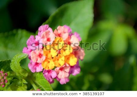 белый мудрец цветок природы саду Сток-фото © rbiedermann