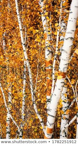 Sonbahar huş ağacı ağaç renkli yaprakları yanan Stok fotoğraf © joyr
