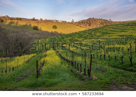 Rows of flowers growing in California stock photo © emattil