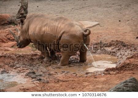 White Rhino Marking Territory Stock photo © THP