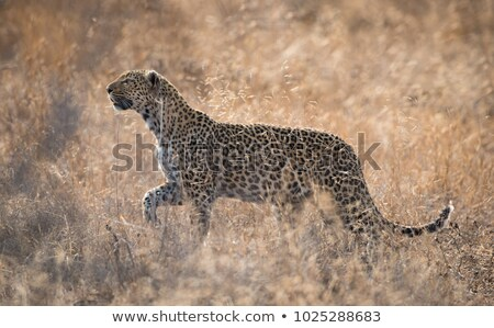 Leopard walking in the sand in the Kruger. Stock photo © simoneeman