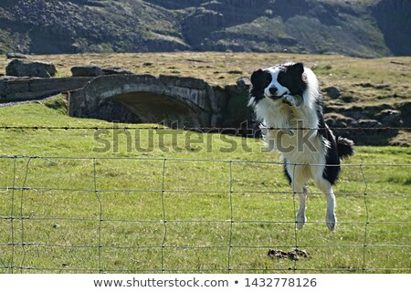 Dog jumping over the fence Stock photo © bluering