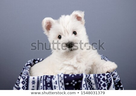 Stock photo: West Highland White Terrier portrait in a gray background