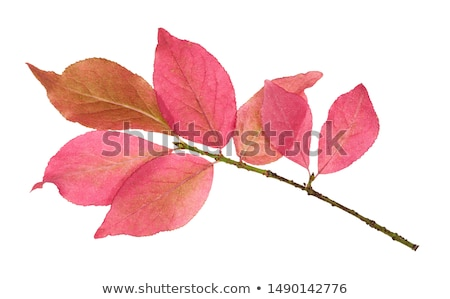 Several Colorful Burning Bush Leaves on White Stock photo © ozgur