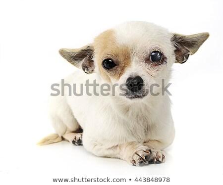 Olhos foto estúdio cão feliz beleza Foto stock © vauvau