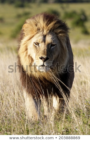 male lion walking towards the camera in the kruger national park stock photo © simoneeman