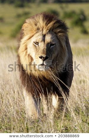 Férfi oroszlán sétál kamera park Dél-Afrika Stock fotó © simoneeman