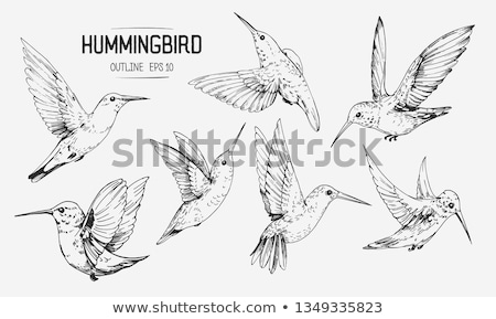 Vector of a hummingbird Stock photo © odina222