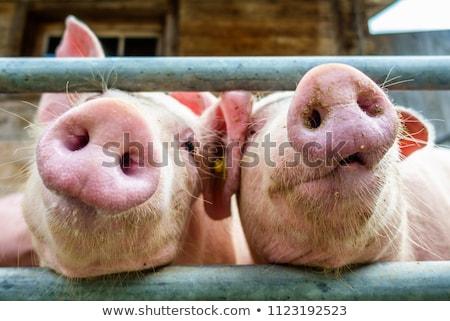 jonge · big · varkens · boerderij · landbouw · vuile - stockfoto © sherjaca